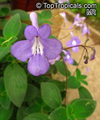 Streptocarpella sp., Bavarian BellesClick to see full-size image