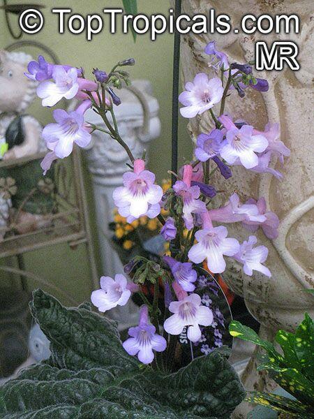 Streptocarpus Sp Strep Toptropicals Com