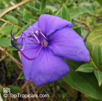 Tibouchina sp., Princess Flower, Glory Bush  Click to see full-size image