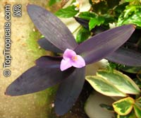 Tradescantia pallida, Setcreasea pallida, Purple heart, Purple queen  Click to see full-size image
