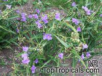 Tradescantia virginiana, Tradescantia x andersoniana, Virginia Spiderwort, Lady's Tears  Click to see full-size image