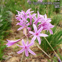 Tulbaghia violacea, Wild Garlic  Click to see full-size image