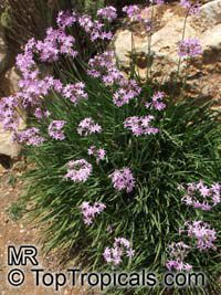 Tulbaghia violacea, Wild Garlic