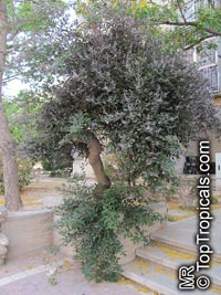 Vitex trifolia Purpurea, Arabian Lilac  Click to see full-size image