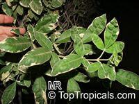 Vitex trifolia Variegata, Variegated Arabian Lilac  Click to see full-size image