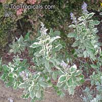 Vitex trifolia Variegata, Variegated Arabian Lilac  Click to see full-size image