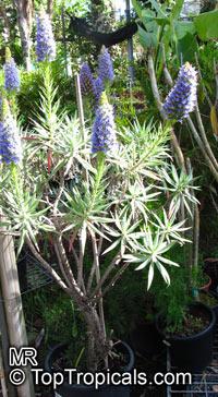 Echium fastuosum, Echium candicans, Pride of Madeira  Click to see full-size image