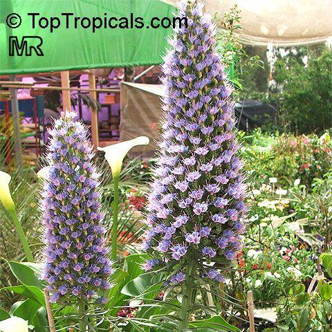 Flower Seed Catalogs on This Plant  Http   Toptropicals Com Catalog Uid Echium Fastuosum Htm