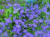Lobelia erinus, Bellflower  Click to see full-size image
