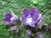 Mandragora autumnalis, Mandrake, Autumn mandrake, Devils Candle  Click to see full-size image