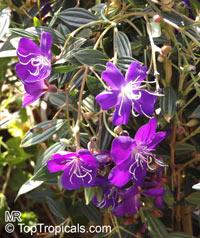 Tibouchina lepidota , Dwarf Princess Flower, Glory Bush, MayoClick to see full-size image