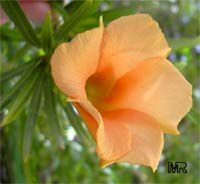 Thevetia nereifolia, Thevetia peruviana, Cascabela thevetia, Still Tree, Yellow Oleander, Lucky Nut  Click to see full-size image