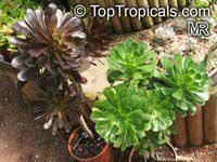 Aeonium arboreum, Sempervivum arboreum, Tree Aeonium, Houseleek Tree, Irish Rose