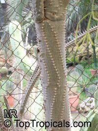 Alluaudia procera, Madagascar Ocotillo, Madagascan Ocotillo, African OcotilloClick to see full-size image