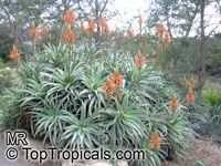 Aloe arborescens, Tree Aloe, Krantz Aloe   Click to see full-size image