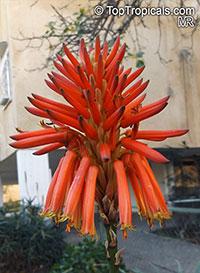 Aloe arborescens, Tree Aloe, Krantz Aloe   Click to see full-size image