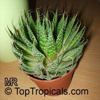 Aloe aristata, Torch Plant, Lace Aloe  Click to see full-size image