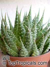 Aloe aristata, Torch Plant, Lace Aloe