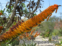 Aloe marlothii, Mountain Aloe, Flat-flowered Aloe 