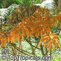 Aloe striata, Coral Aloe  Click to see full-size image