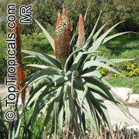 Aloe speciosa, Tilt-head AloeClick to see full-size image