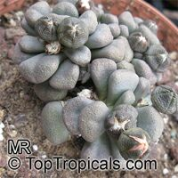 Aloinopsis sp., Aloinopsis, Living Stone  Click to see full-size image