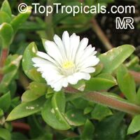 Aptenia cordifolia, Baby Sun Rose  Click to see full-size image
