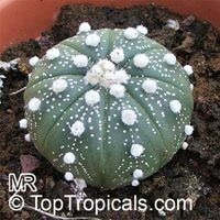 Astrophytum sp. , Star Cactus  Click to see full-size image