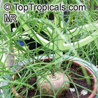 Bowiea volubilis, Schizobasopsis volubilis, Climbing Onion, Sea Onion  Click to see full-size image