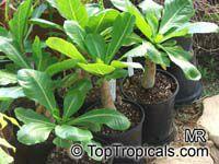 Brighamia insignis, Brighamia citrina, Olulu, Alula, Hawaiian PalmClick to see full-size image