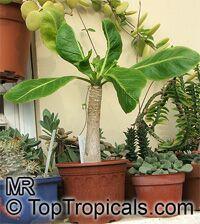 Brighamia insignis, Brighamia citrina, Olulu, Alula, Hawaiian Palm  Click to see full-size image