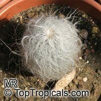 Cephalocereus senilis, Old Man Cactus   Click to see full-size image