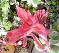Crassula erosula 'Campfire', Campfire Crassula  Click to see full-size image