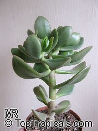 Crassula ovata - Jade Dollar Plant, Money Tree  Click to see full-size image