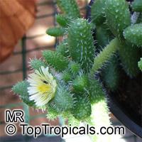 Delosperma echinatum, Pickle Plant, Pickle Cactus  Click to see full-size image