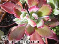 Echeveria sp., Echeveria