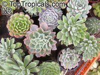 Echeveria sp., Echeveria  Click to see full-size image