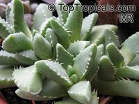 Faucaria sp., Tiger Jaws  Click to see full-size image