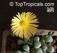 Fenestraria rhopalophylla, Fenestraria aurantiaca, Window PlantClick to see full-size image