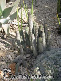 Hoodia sp., Hoodia