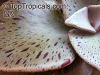 Lenophyllum guttatum, Sharpleaf Lenophyllum  Click to see full-size image