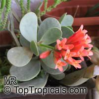 Kalanchoe farinacea, Mealy Kalanchoe  Click to see full-size image