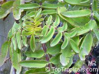 Bryophyllum proliferum, Kalanchoe prolifera, Blooming BoxesClick to see full-size image