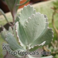 Kalanchoe pumila, Blue Kalanchoe  Click to see full-size image