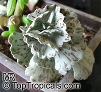 Kalanchoe rhombopilosa, Pies from Heaven   Click to see full-size image