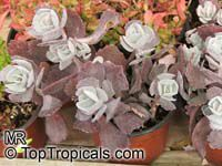 Kalanchoe sp., Kalanchoe  Click to see full-size image