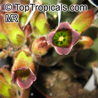 Kalanchoe tomentosa, Pussy Ears, Panda Plant  Click to see full-size image