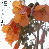 Bryophyllum delagoense, Kalanchoe delagoensis, Kalanchoe tubiflora, Bryophyllum tubiflorum, Bryophyllum verticillatum, Chandelier plant  Click to see full-size image