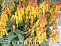 Lachenalia aloides, Lachenalia tricolor, Cape Cowslip  Click to see full-size image