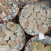 Lithops sp., Living Stones  Click to see full-size image